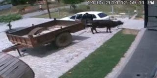 [Vídeo] Así roban en Rusia una 'suculenta' vaca metiéndola a la fuerza en un utilitario