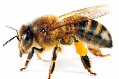El peligro de la misteriosa desaparición de las abejas en el mundo