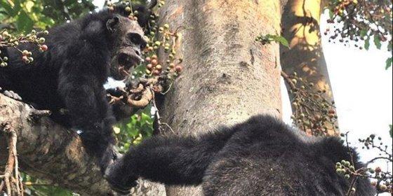 Observan por primera vez a chimpancés salvajes aprendiendo nuevas habilidades