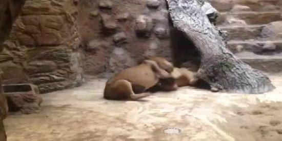 El vídeo del león que mata a su compañera en un zoo delante de una aterrada niña