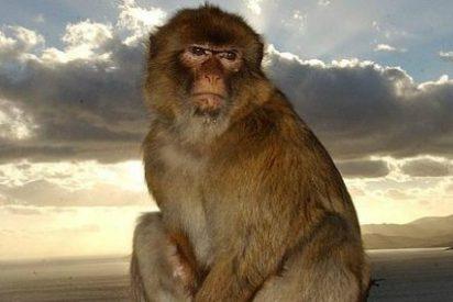 Los monos de Gibraltar acaban 'exiliados' en Escocia por mordiscones y ladrones