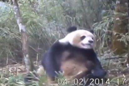 [Vídeo] Cómo se masturba un oso panda después de pelar bambú
