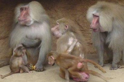 Un experimento muestra que el color rojo deja indiferentes a los monos machos