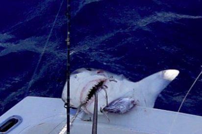 Un niño la mar de pedante pesca un tiburón tigre de 2,5 metros y se queda tan fresco