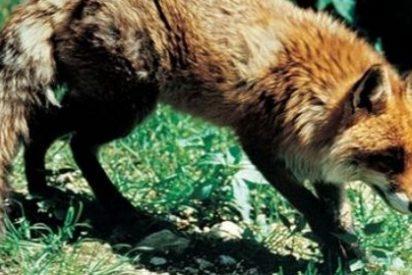 Hace 400.000 años los zorros viajaron desde Oriente Medio hasta América