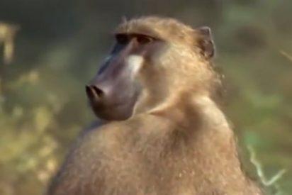 Los babuínos comparten con los humanos la habilidad del 'Know-How'