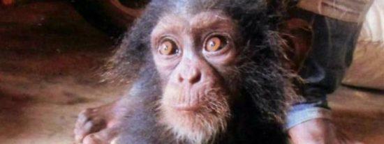 El bebé chimpancé rodeado de su familia mutilada llora de miedo al ver a un humano