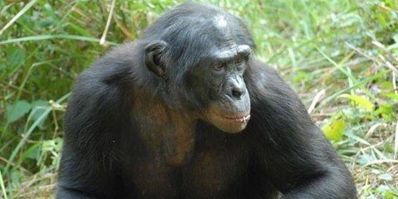 Las oportunidades ecológicas, y no la necesidad, determinan el uso de herramientas en los primates