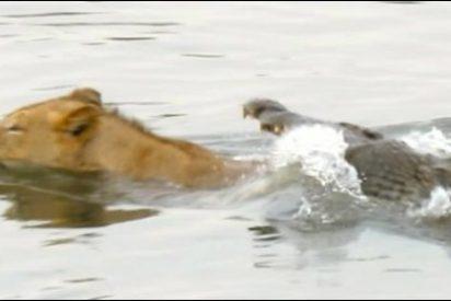 El vídeo del león que acabó entre las fauces del cocodrilo en un río