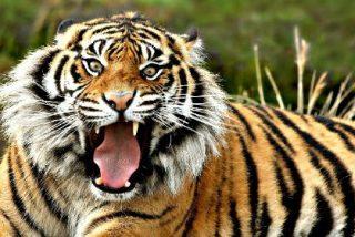 Un tigre liberado por Vladimir Putin, principal sospechoso de la matanza de cabras en China