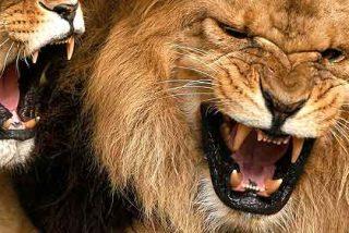 Se tira al foso de los leones en el zoo de Barcelona y las fieras 'juegan' con él