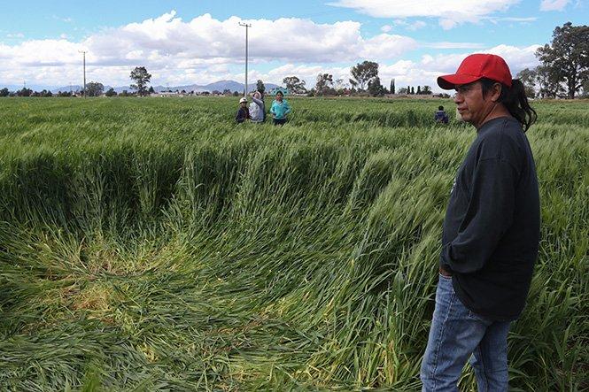 Aparecen de repente una misteriosas figuras en los cultivos de México