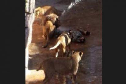 [Vídeo] Se lanza a los leones del Zoo de Barcelona tras haber quemado una estelada durante la pasada Diada