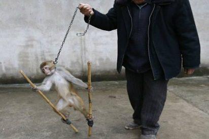 Las terribles imágenes de un mono esclavizado en China que indignan al mundo