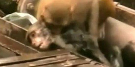 El rescate del mono que se electrocuta en las vías del tren... por su peludo amigo del alma