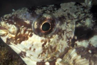 Los devastadores peces conejo amenazan el ecosistema Mediterráneo