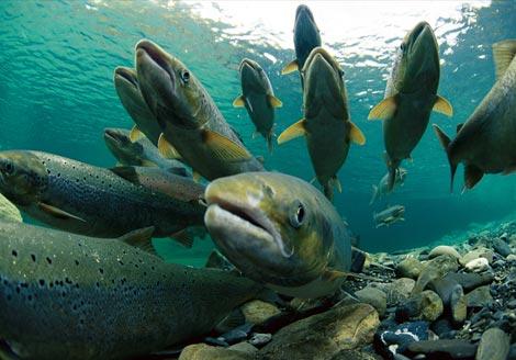 ¿Sabías que las altas temperaturas en Alaska están provocando la muerte de los salmones?