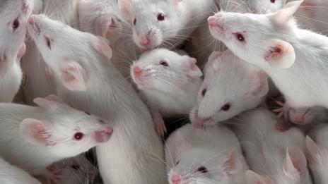 Científicos reviven a ratones transgénicos para encontrar una vacuna al coronavirus