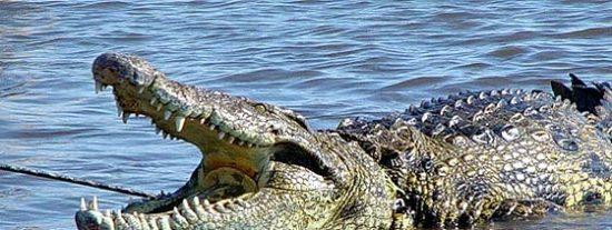 Mata a cuchilladas al cocodrilo gigante que devoró a su mujer embarazada