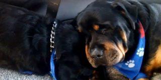 [Vídeo] El Rottweiler que llora desconsolado por la muerte de su hermano