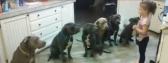 La niña de 4 años que controla a 6 pitbulls hambrientos nos deja con la boca abierta