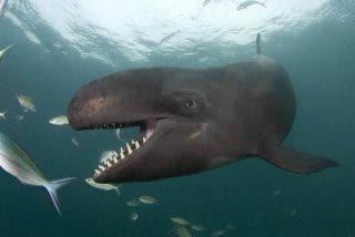 La mortal y eterna batalla de orcas contra ballenas