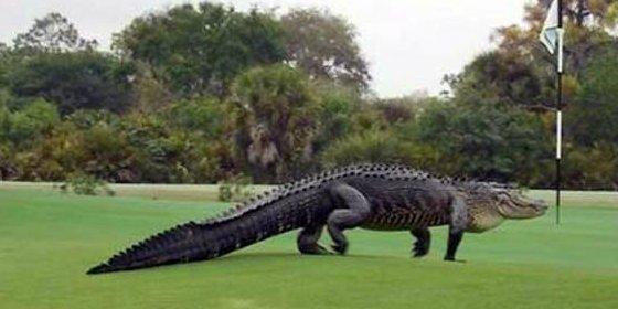 El cocodrilo 'prehistórico' que vive en un campo de golf no está para pelotas