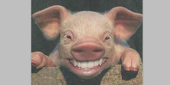 Un cerdo borracho causa el pánico en un camping y se fuga perseguido por una vaca