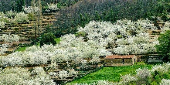 La Oficina de Turismo del Valle del Jerte actualizará a diario el estado de la floración