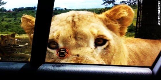 El vídeo del león que abre con los dientes la puerta del coche de una aterrorizada familia