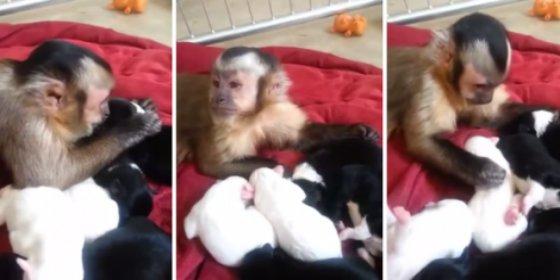 El vídeo del cariñoso mono capuchino que cuida con esmero al más 'canino'