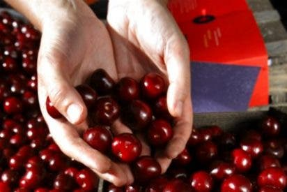 La DOP Cereza del Jerte cierra la campaña 2014 con 9,3 millones de kilos de cereza y picota certificada