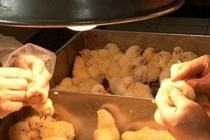 ¿Por qué extraña razón nadie quiere ser sexador de pollos por 4.500 euros al mes?