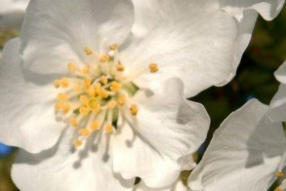 La fiesta de Interés Turístico Nacional del Cerezo en Flor se clausura este fin de semana