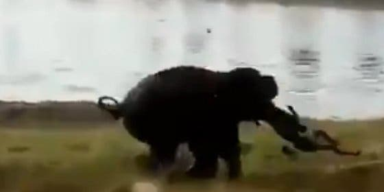 [Vídeo sin censura] Así aplasta un elefante hasta la muerte al hombre que le tiró piedras