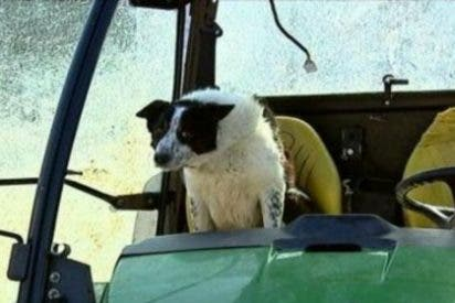 El perro se pone al volante del tractor y causa un accidente en una autopista