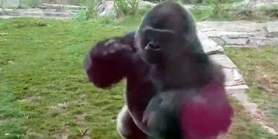 El feroz ataque de un gorila a una familia que casi se muere del susto
