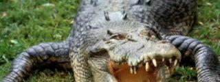 [Vídeo sin censura] Cazan al cocodrilo que tenía troceado en el estómago ¡a su última víctima humana!