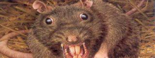 Encuentran excremento de rata en la cocina de un restaurante chino: 11 personas intoxicadas