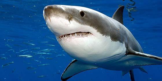[Vídeo] El terrible momento en que un tiburón blanco ataca a dos cámaras de Discovery Channel