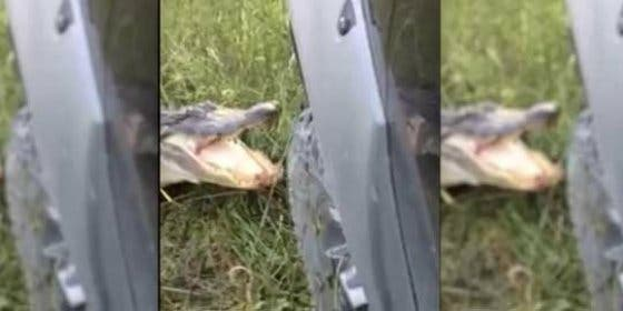 El vídeo del feroz cocodrilo que destroza el camión de un inoportuno