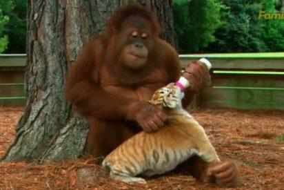 El increíble vídeo del tierno orangután que ha adoptado a tres tigres bebés