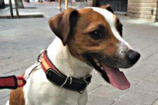 'Pecas', el perro de Esperanza Aguirre, entra en campaña electoral