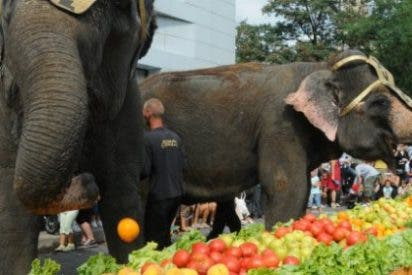 Un gigantesco desayuno de 200 kilos de frutas y verduras para 2 elefantes del Gran Circo Mundial en Cáceres