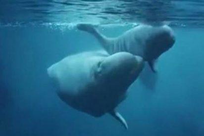 [Vídeo] El asombroso nacimiento de una tierna ballena beluga en un acuario