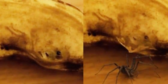 La terrorífica araña que sale a lo loco del asqueroso plátano de la merienda