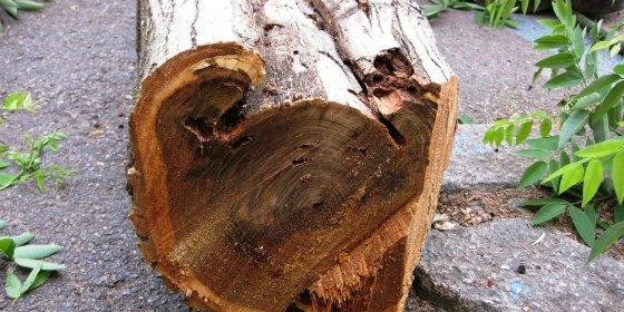 Ayuntamiento de Cáceres destaca que la poda y tala de árboles se realiza por motivos de seguridad