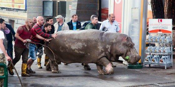 [Vídeo] Campan a sus anchas en Tiflis las fieras que se han escapado del zoo por las inundaciones
