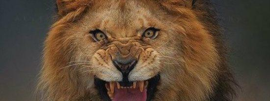 El león se mete en un coche y devora a una turista delante de su marido