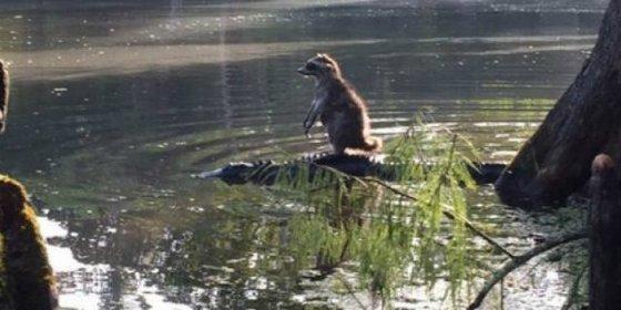 El caprichoso mapache que atraviesa el río a lomos de un cocodrilo